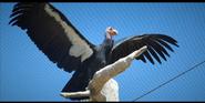 San Diego Zoo Condors