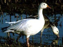Snow-goose 711 600x450.jpg