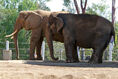 The Asian Elephant and the African Elephant