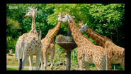The Zoo Giraffes