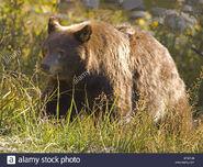 Ursus americanus cinnamomum