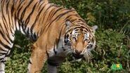 WTAF Tiger