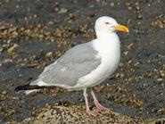 1280px-American Herring Gull RWD3