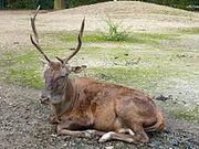220px-Cervus elaphus barbarus, Tierpark Berlin, 523-629.jpg