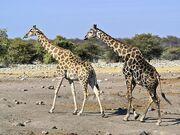 800px-Giraffa camelopardalis angolensis (courting).jpg