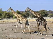 800px-Giraffa camelopardalis angolensis (courting)