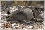 Afrika Hyrax