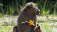 CITIRWN Baboon