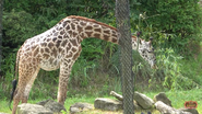 Cincinnati Zoo Giraffe (V2)