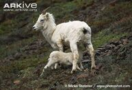 Dall-sheep-lamb-Ovis-dalli-dalli-suckling.jpg