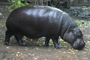 Hippopotamus, Pygmy (V2)