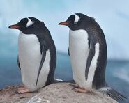 Male and Female Gentoo Penguins