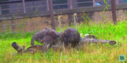 Omaha Zoo Ostrich