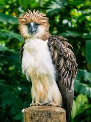 Philippine Eagle.jpg