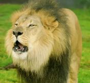 SDZ TV Series Lion