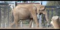 San Diego Zoo African Elephant