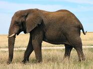 South African bush elephant