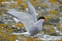 Tern, Arctic.jpg