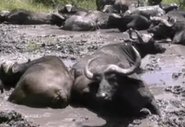 Zoboomafoo Cape Buffalos