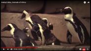 Animal Atlas African Penguins
