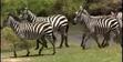 BCD Zebras