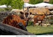 Bongo Bull and Cow