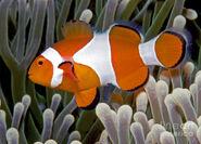 Clownfish, Ocellaris