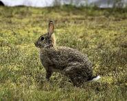 European Rabbit Doe