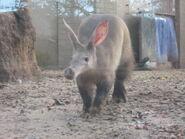 Female Aardvark