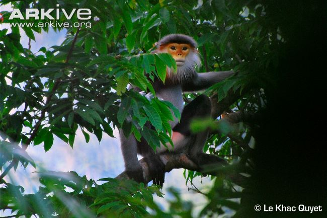 Grey-Shanked Douc