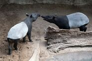 Male and female Malayan tapirs