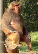 Okland Zoo Baboon