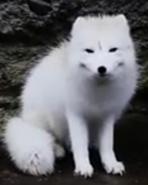 Point Defiance Zoo Arctic Fox