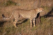 Tanzanian cheetah (Acinonyx jubatus raineyii)