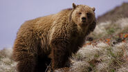 Ursus arctos californicus