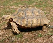 African Spurred Tortoise (V2)