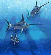 Atlantic Swordfish ZT