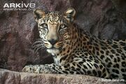 Captive-Arabian-leopard-portrait.jpg