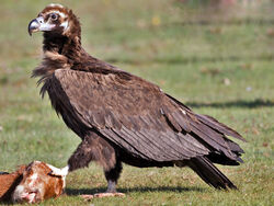 Cinereous Vulture.jpg