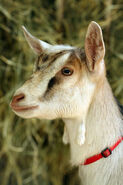 Goat LG