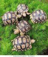 Group-baby-leopard-tortoise-walking-600w-551099215