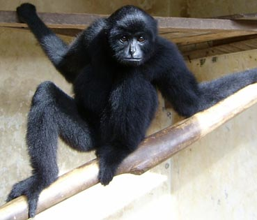 Kloss' Gibbon