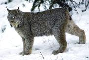 Lynx stand snow.jpg