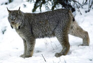 Lynx stand snow