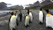 More King Penguins