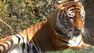 Reid Park Zoo Tiger