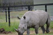 Southern White Rhino In the Wild