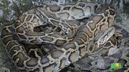 WTAF Burmese Pythons