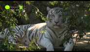 Audobon Zoo Tiger