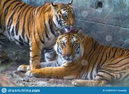 Bengal Tiger and Tigress